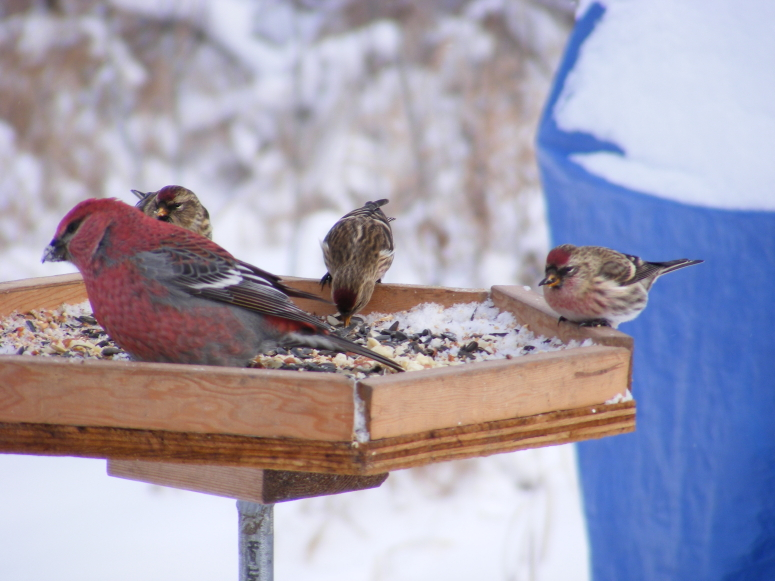 Winter birds 015_1
