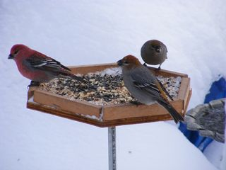 Winter birds 008_1