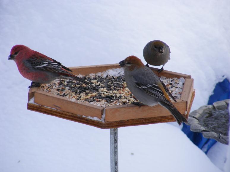 Winter birds 008_1
