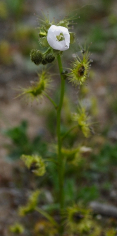 Flower_of_the_sundew